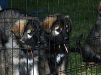 Guardian Kennels - Purebred Shiloh Shepherds for sale